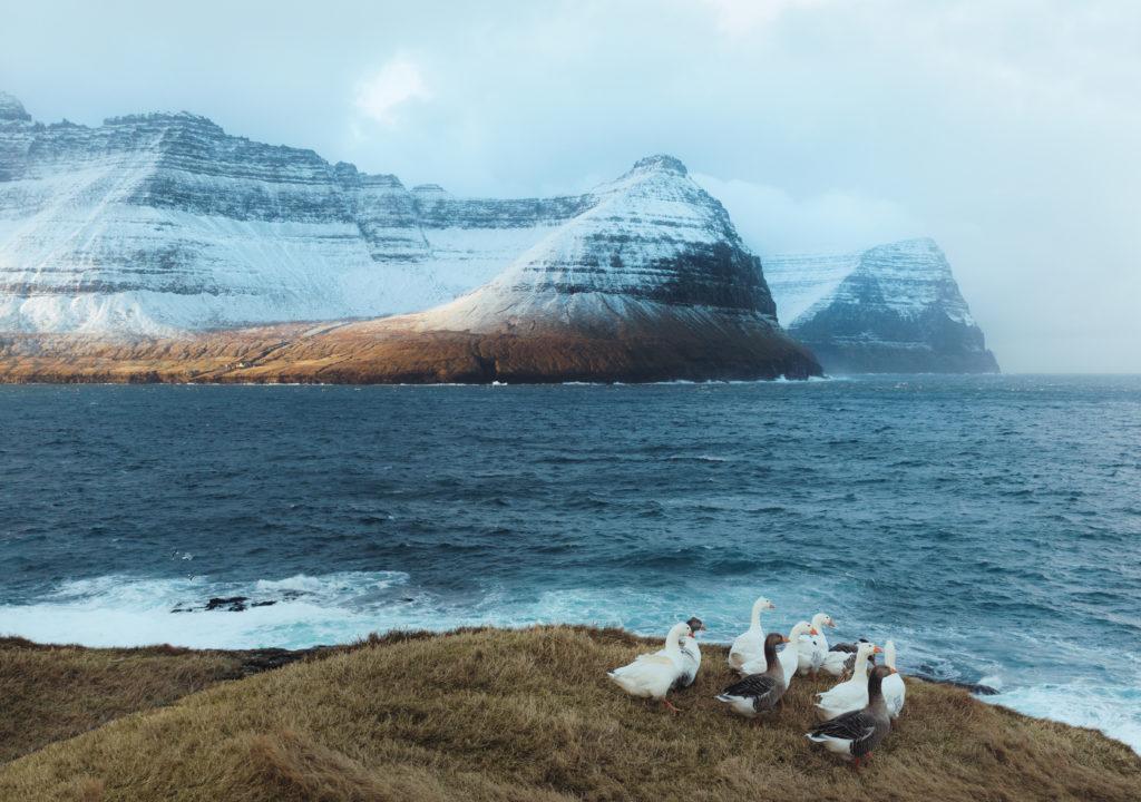 Faerské ostrovy - pasúce sa husi