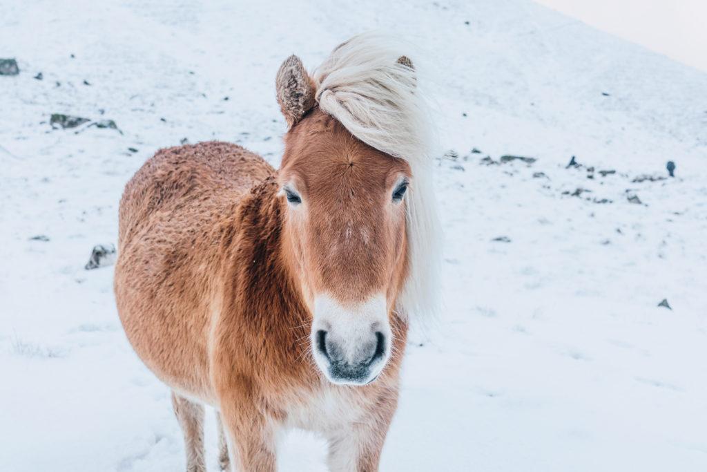 Faerské ostrovy - faerský kôň, ktorý žije len na týchto ostrovoch