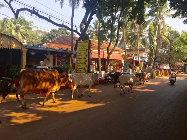 Na Goa nie je ničím nezvyčajným vidieť kravy prechádzať po ceste.