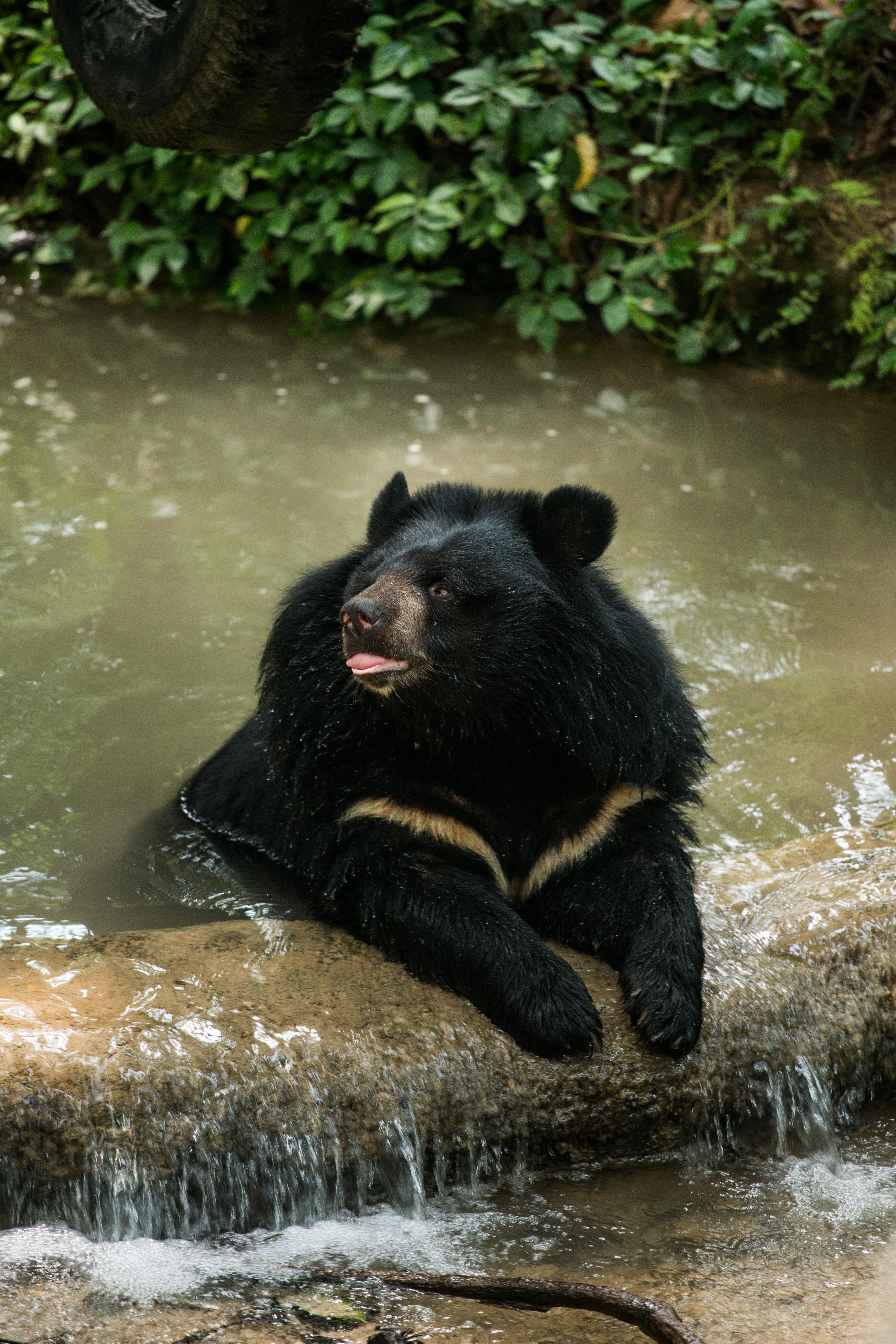 Útulok ázijského medveďa čierneho