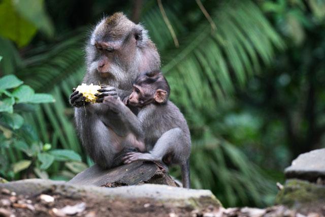 Bali - Opičí ostrov v Ubude