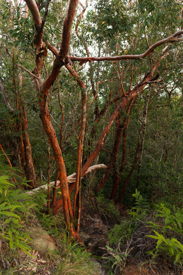 Stromy s červenou kôrou
