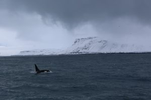 kosatka na Islande