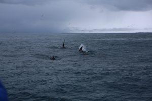 Kosatky na Islande