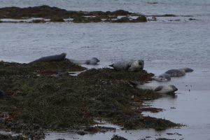 tulene na Islande