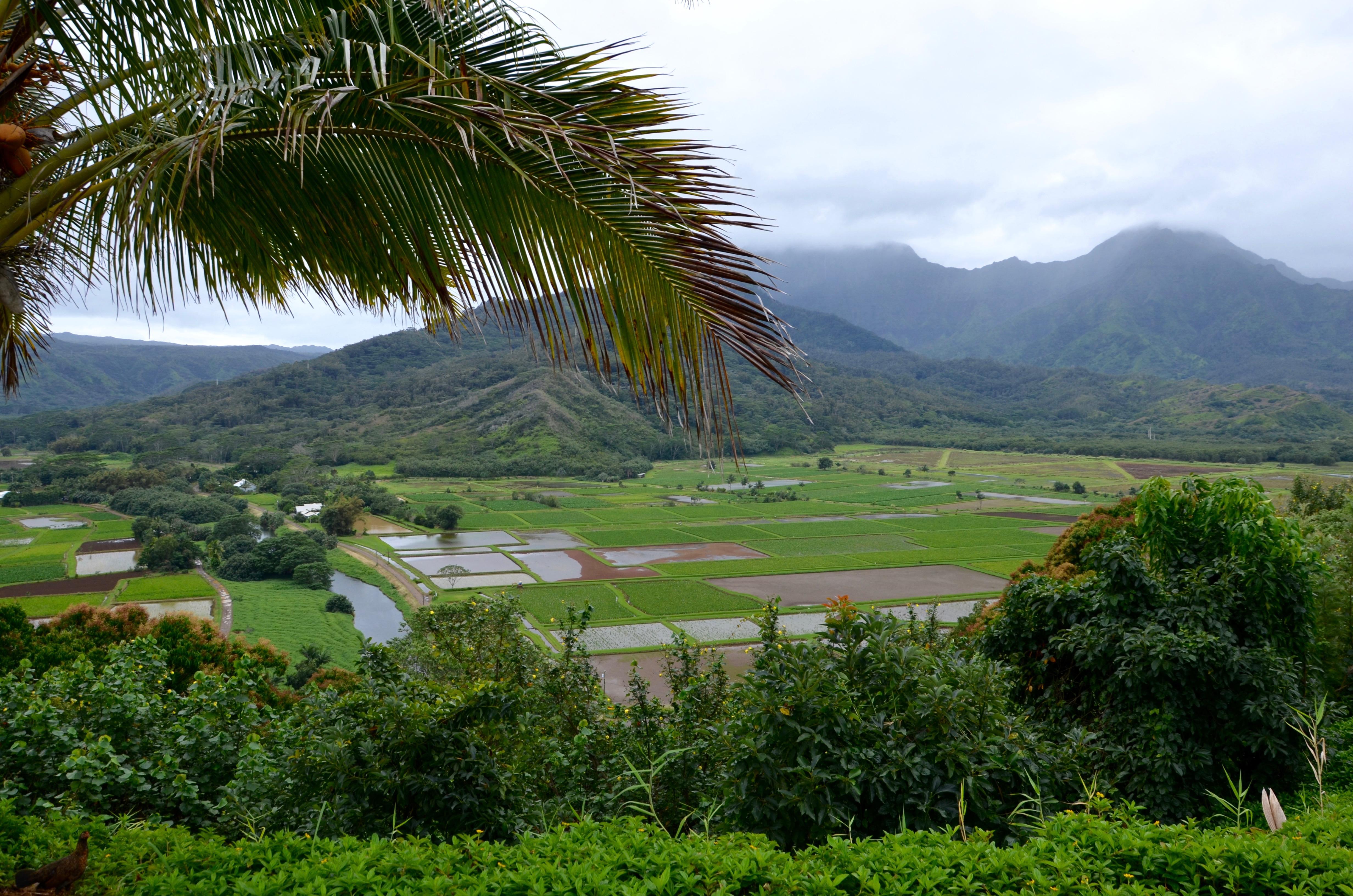 údolia Hanalei, ktoré je známe úhľadnými pravidelnými políčkami