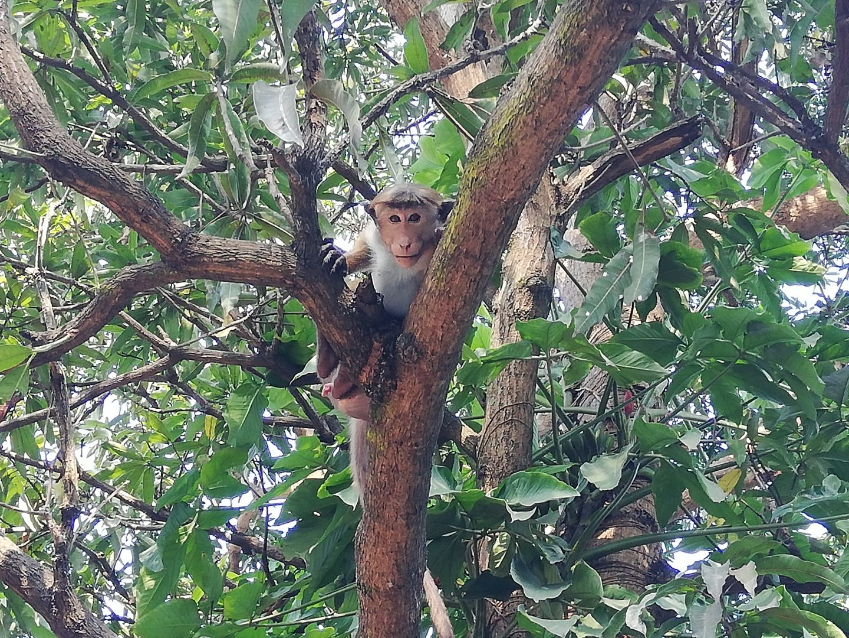 srí lanka: opica