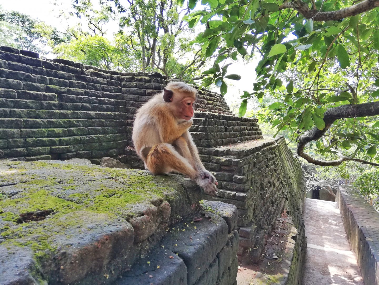 Sigiriya: opice