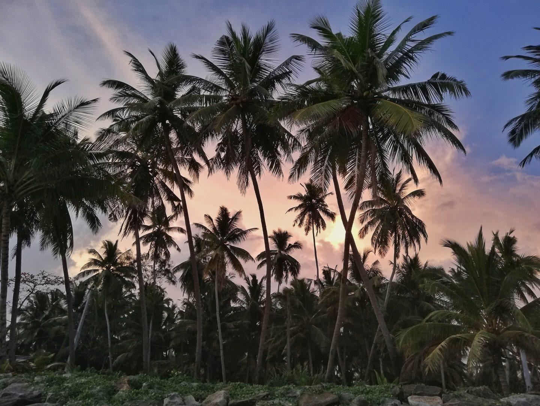 srí lanka: palmy